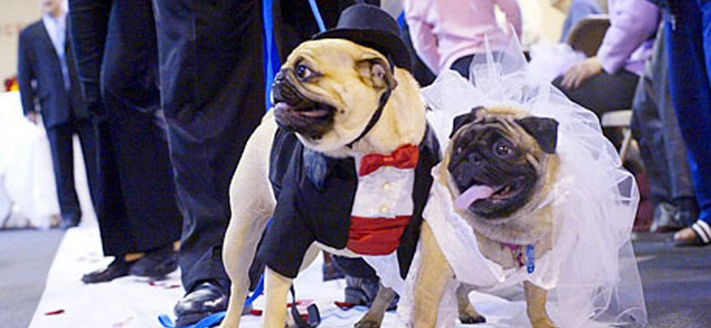 Pug Bride and Groom